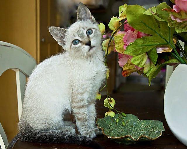 Siamese mix kitten Kiki