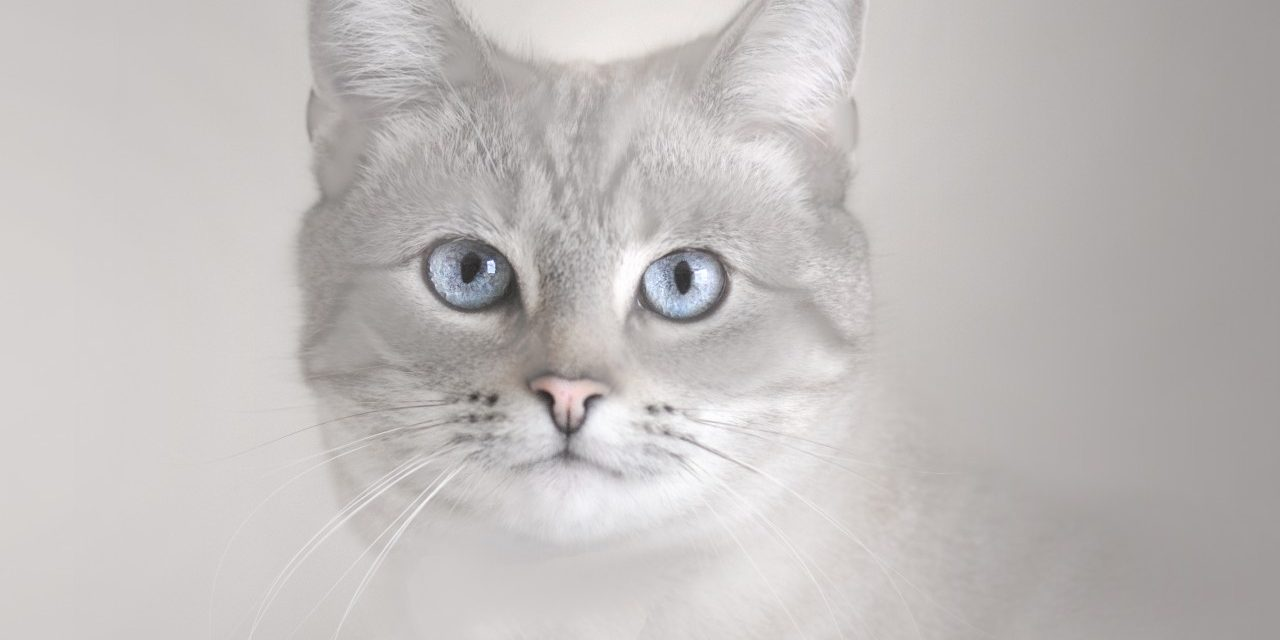stylized photo of the lynx-point Siamese cat Bece
